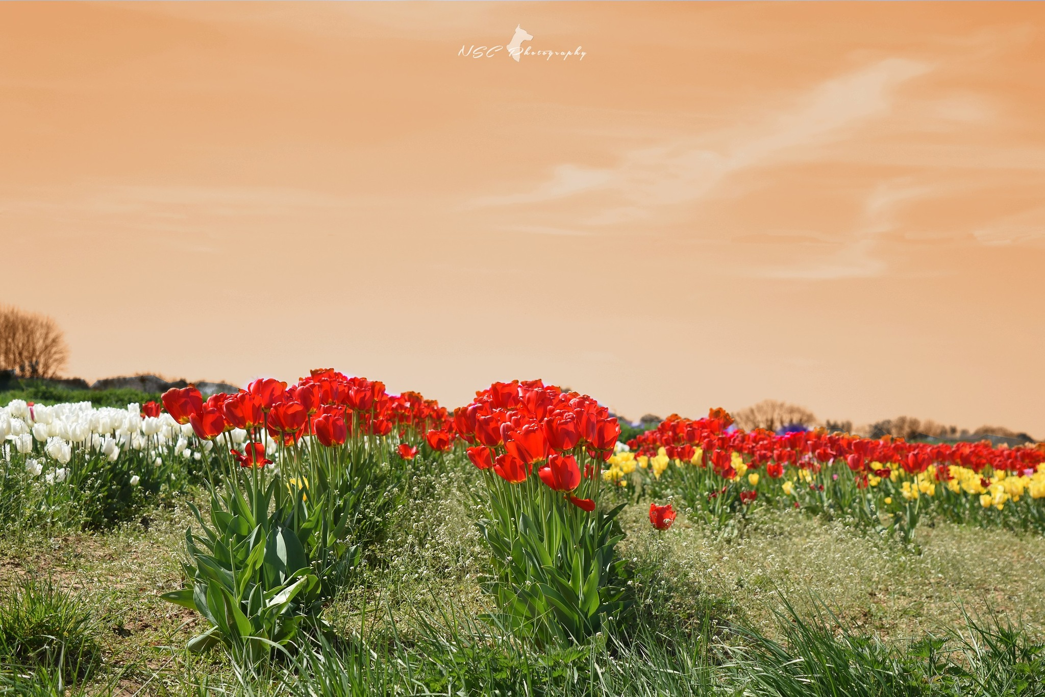 Tulips & Spring .5 by NSC Photography