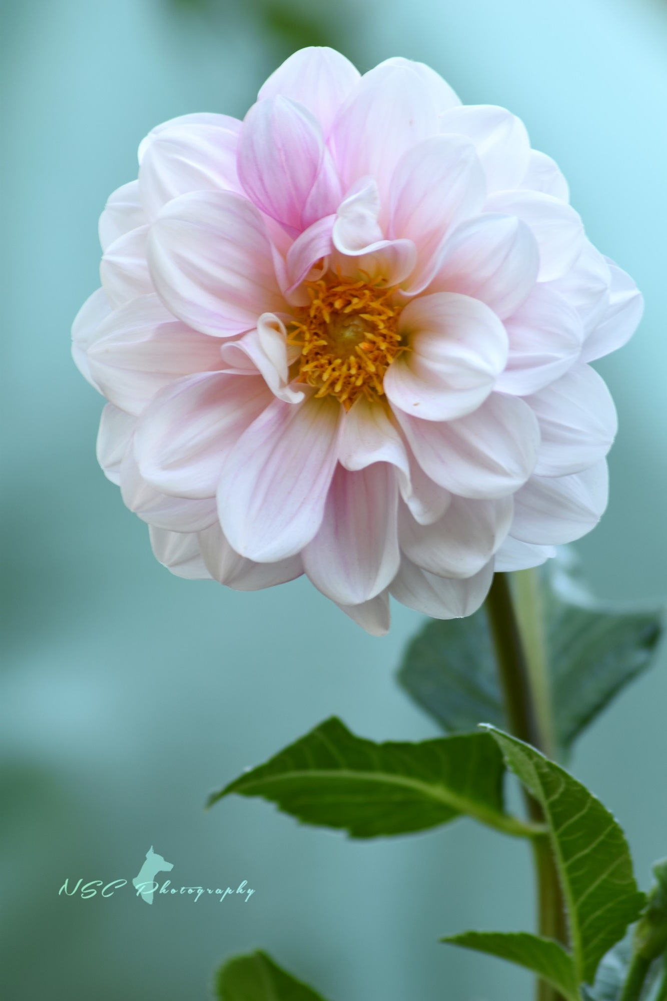 The white dahlia with its touch of pink by NSC Photography