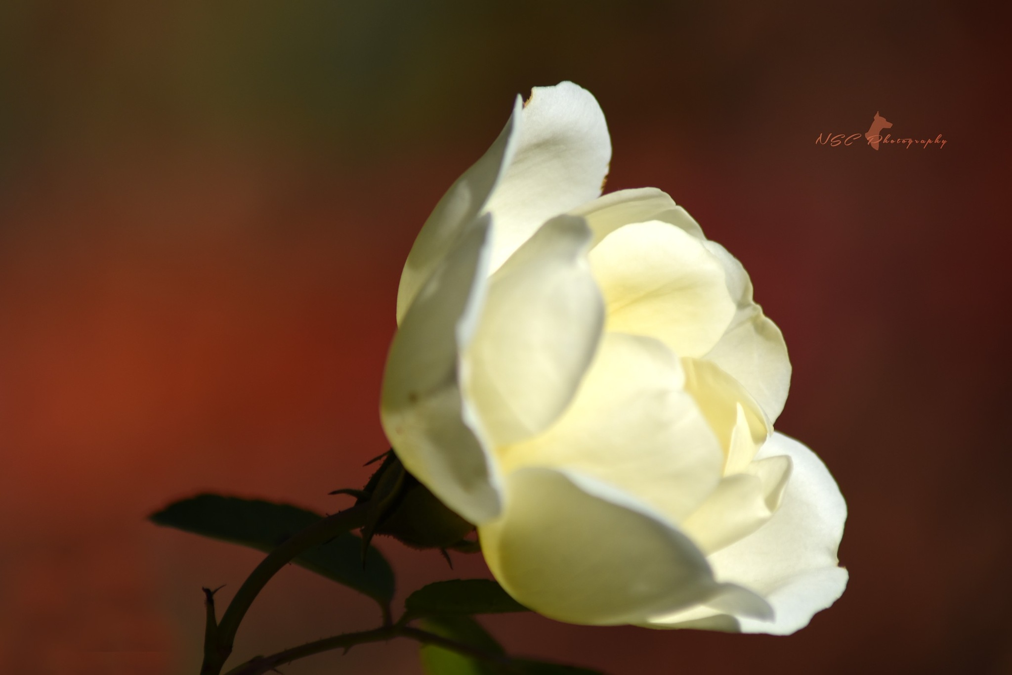 Fall Rose by NSC Photography