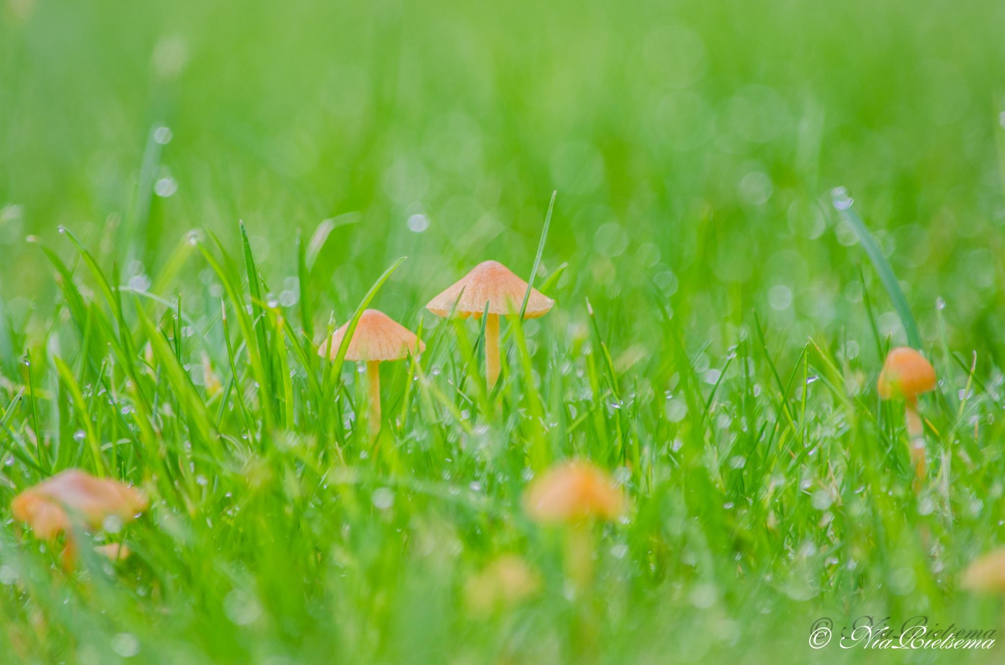 Mooie kleine paddestoelen in het gras by NiaR