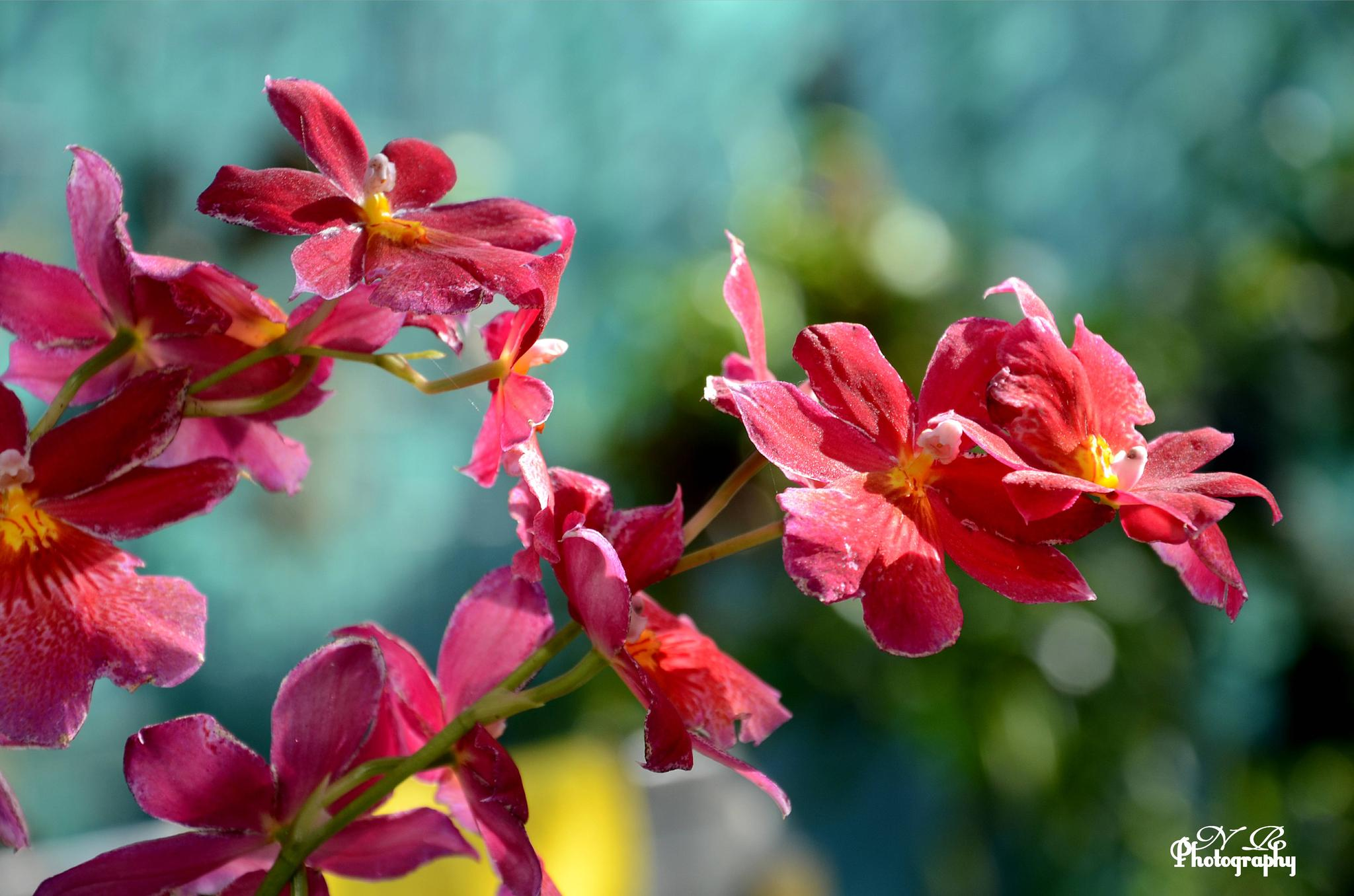 Rode Orchidee by NiaR