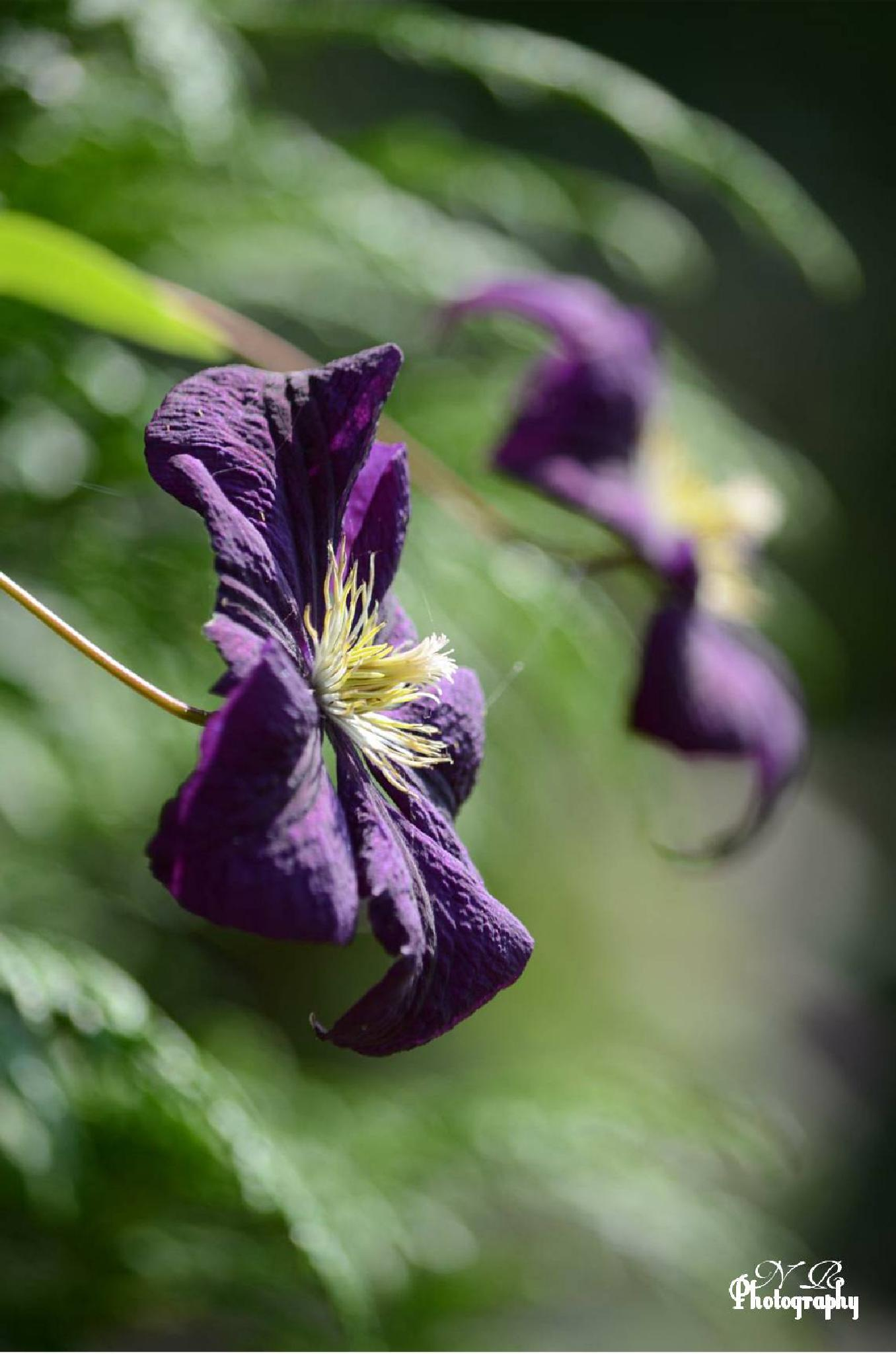 Clematis Etoile Violette by NiaR