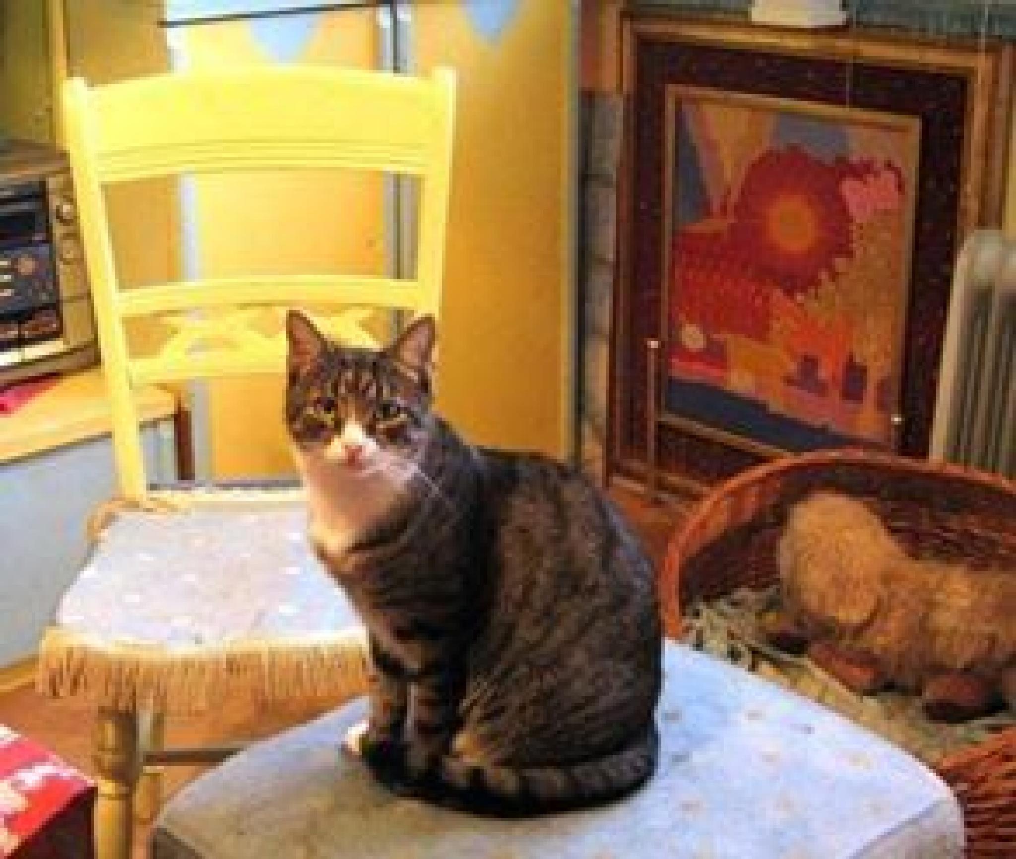 Palčić ~ Male cat  by natasa.karamatijevic