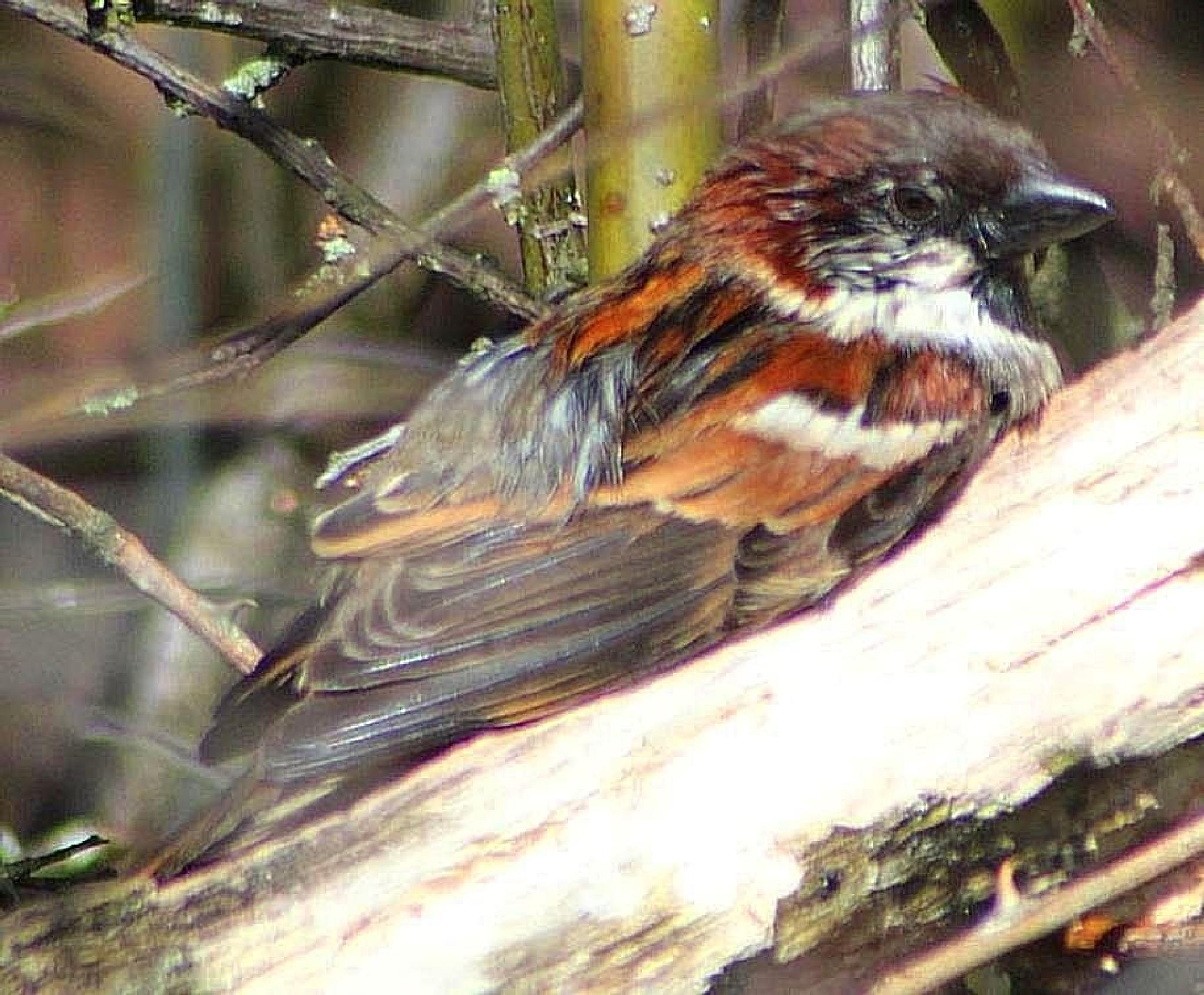 Male Sparrow sun bathing by ralph.cook2