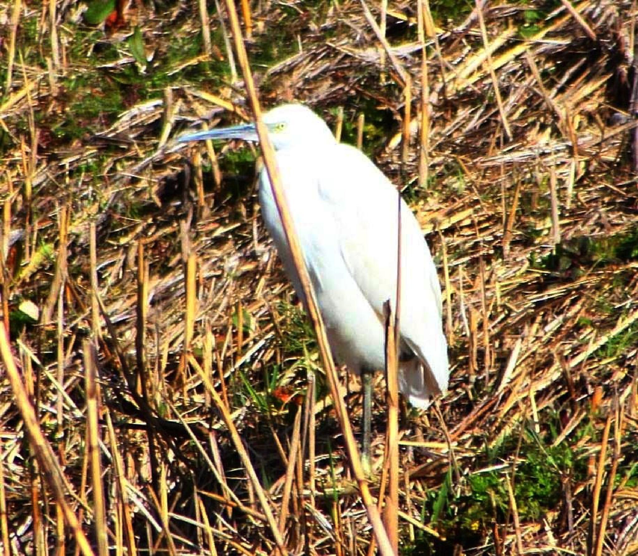 Little Egret beside the reen by ralph.cook2