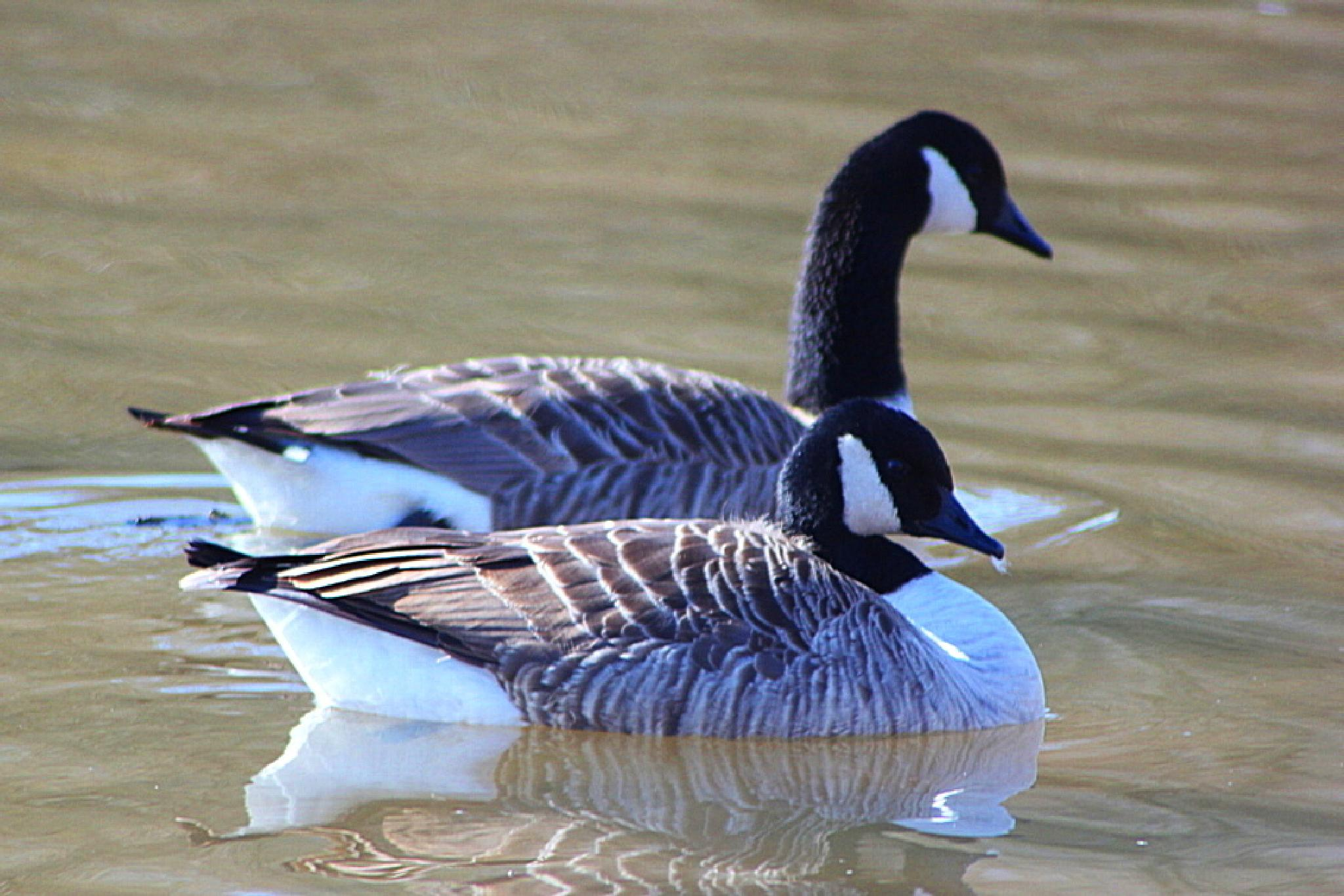 Canada Geese by ralph.cook2