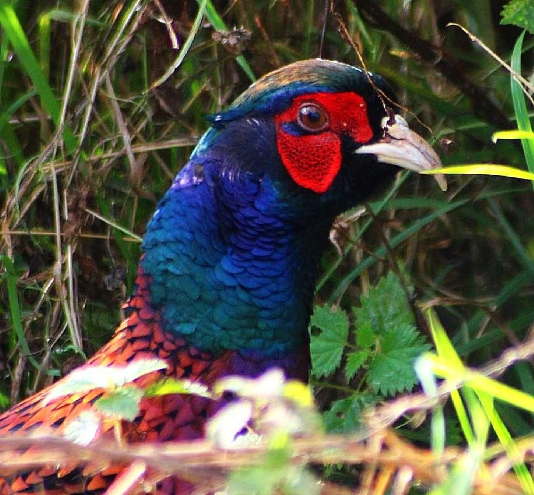 Pheasant by ralph.cook2