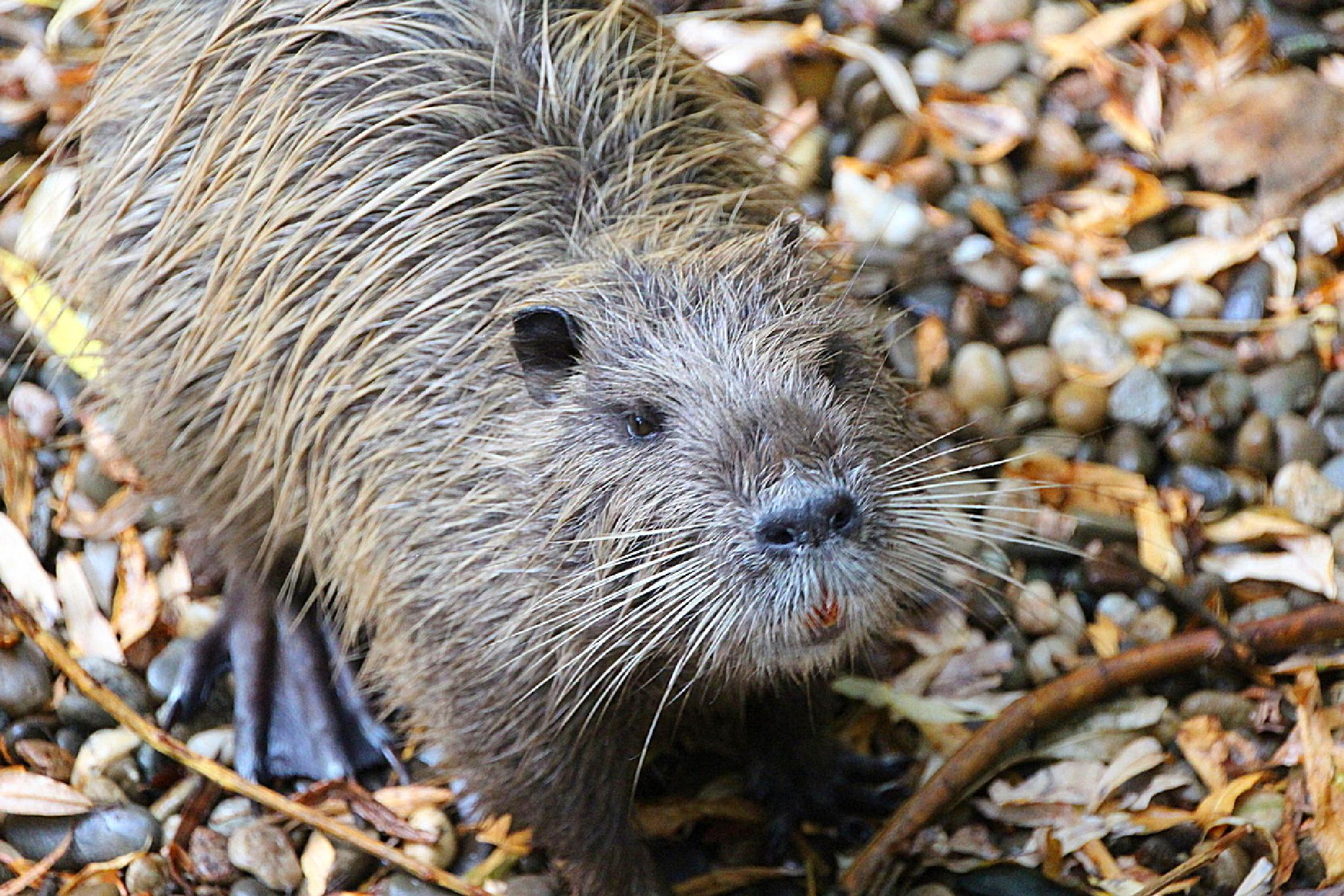 Wild Coypu by ralph.cook2
