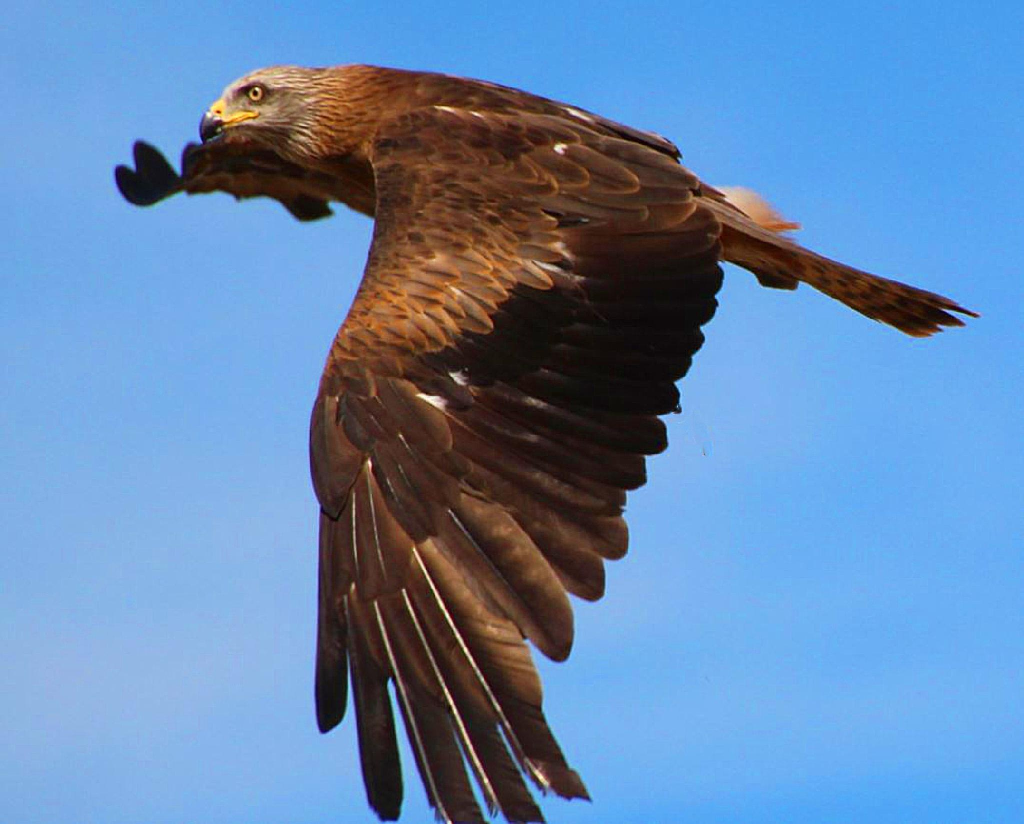 Red Kite by ralph.cook2