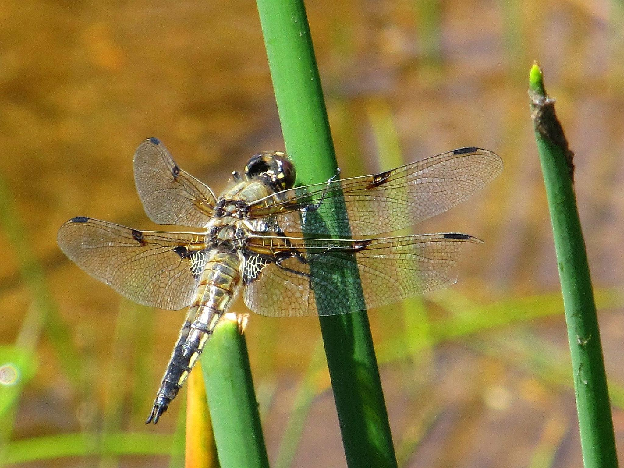 Dragonfly in the sun by Ruth Moore