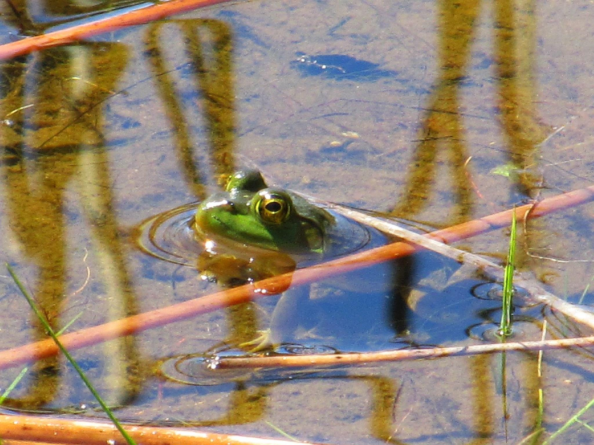 Frog in the shallows by Ruth Moore