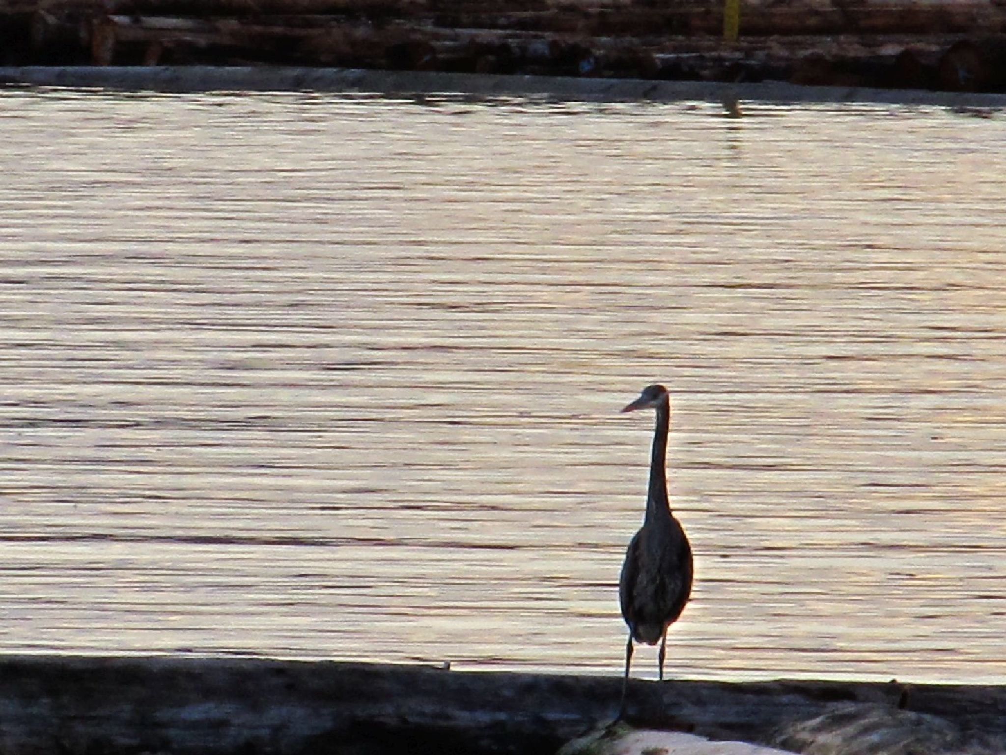 Heron the water's edge (get it, here on the water's edge) LOL ;-) by Ruth Moore