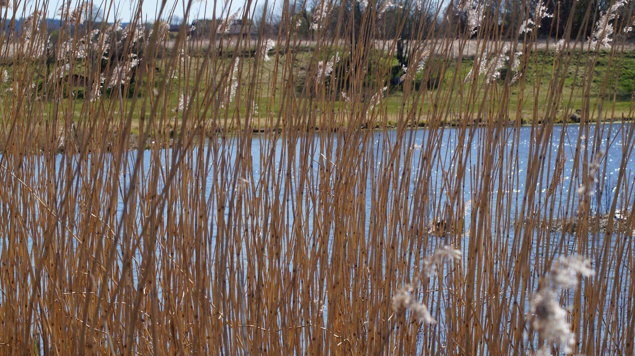 Reed plant by majsanmw