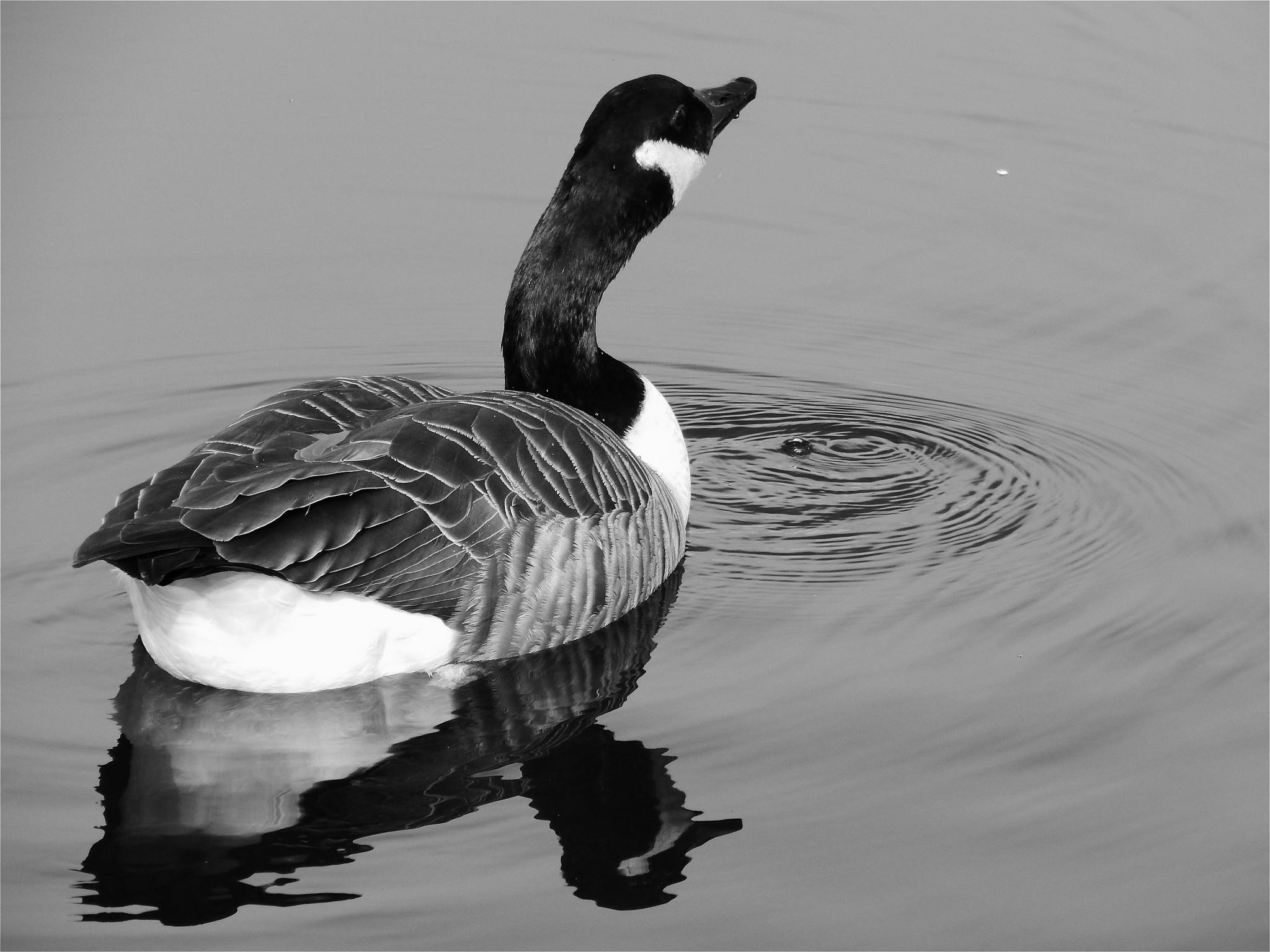 canadian goose drinking by nikita.buckley.9