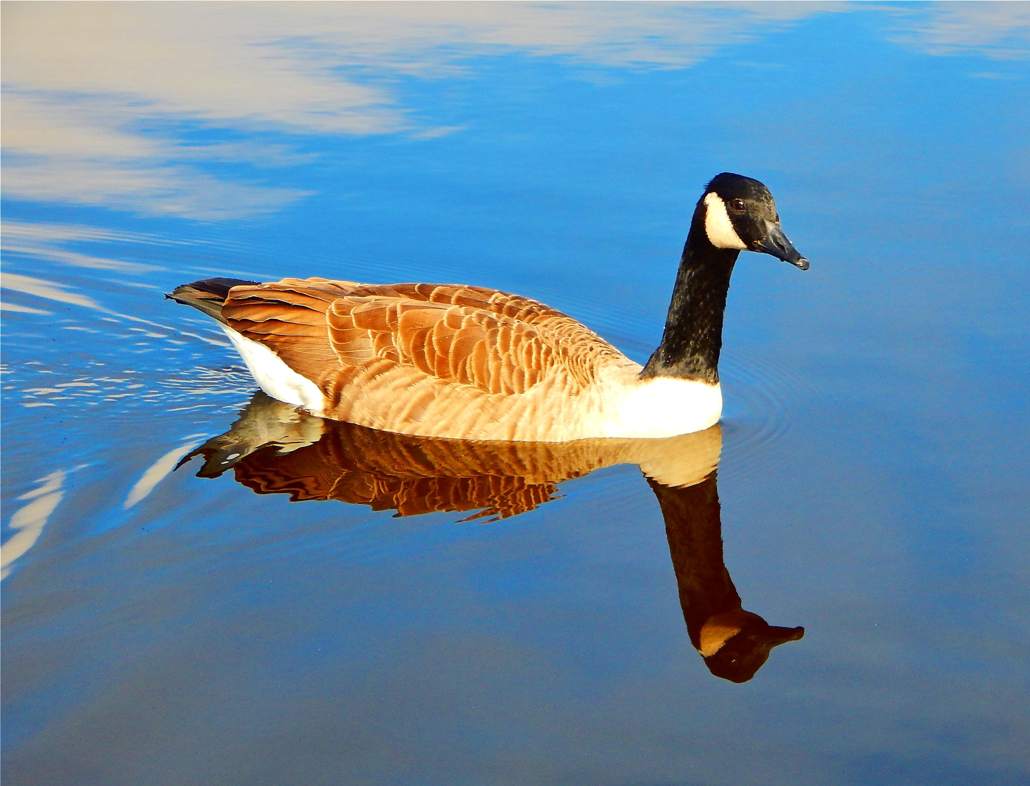 canadian goose by nikita.buckley.9