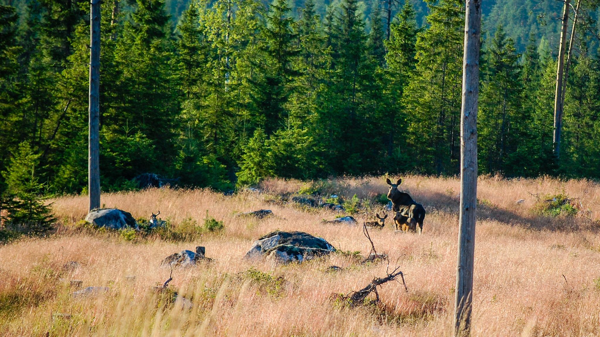 Moose with 2 babies by Geert Broeks