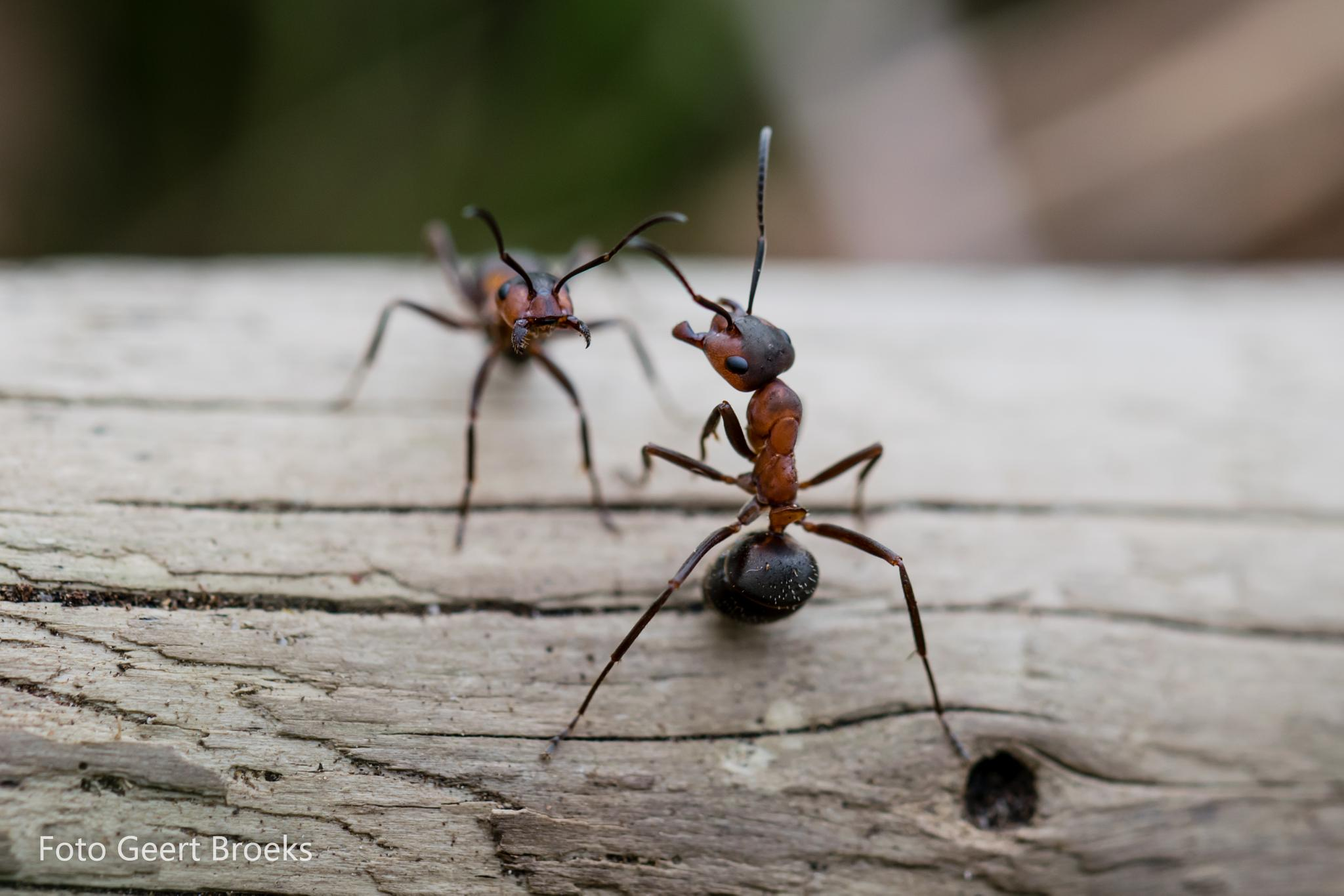 The battle of the ants. by Geert Broeks