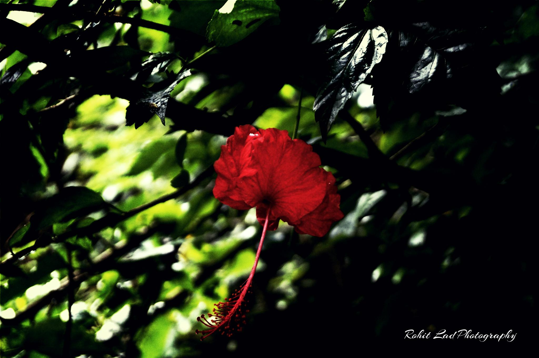 just a Flower by rohitlad9