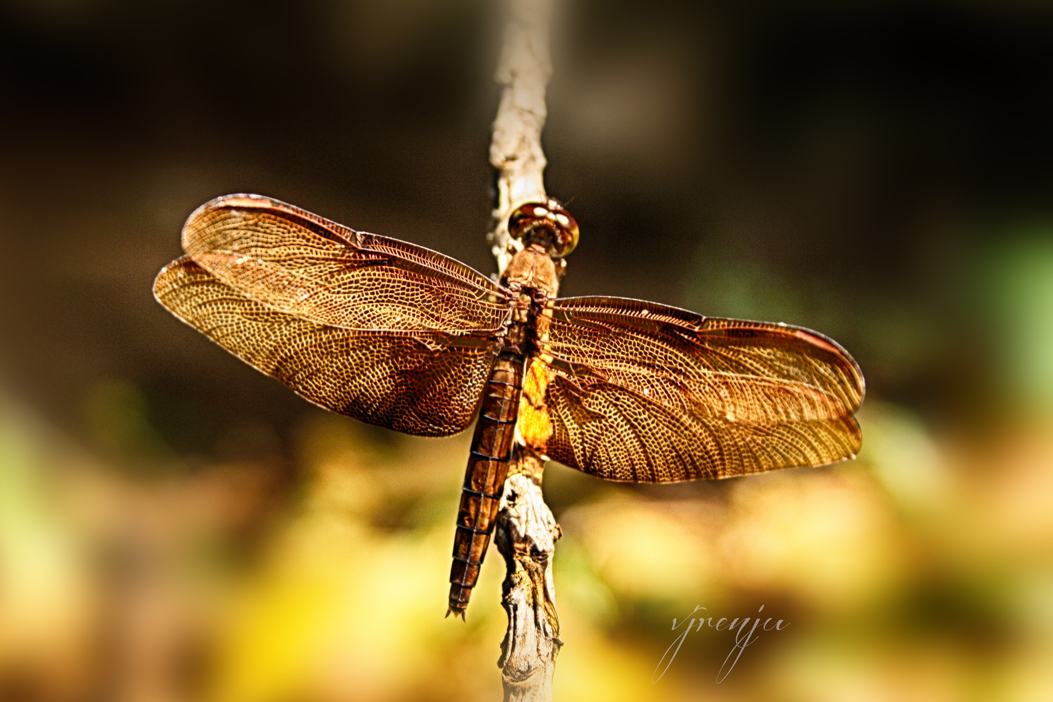 dragon fly by VJ Renju