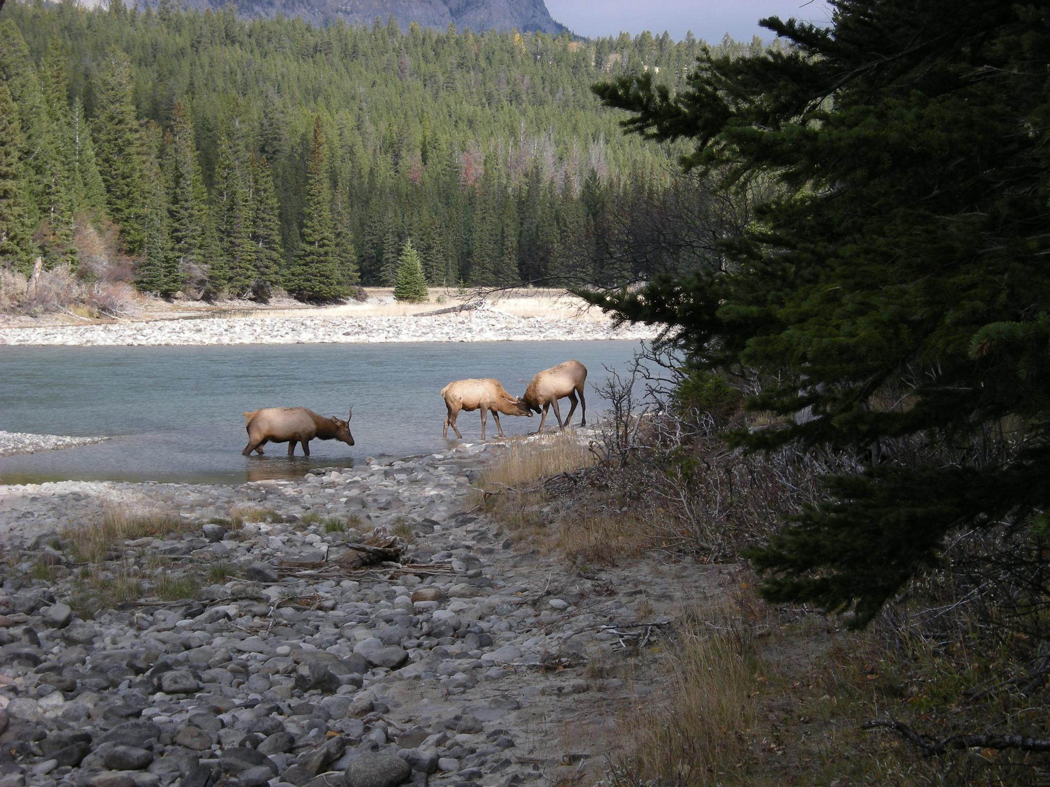 Young elk practicing by the Bow River by                                                       Andy Scheffler