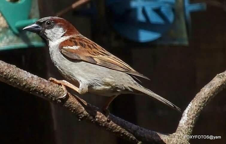 House sparrow  by David.s.fox.9