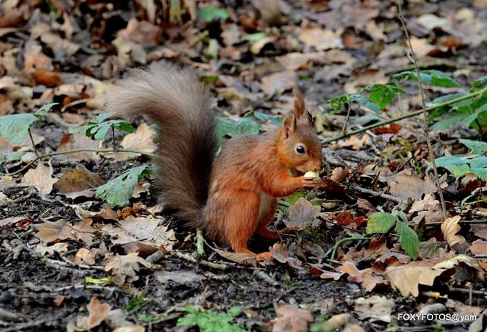 Red Squirrel having a snack by David.s.fox.9