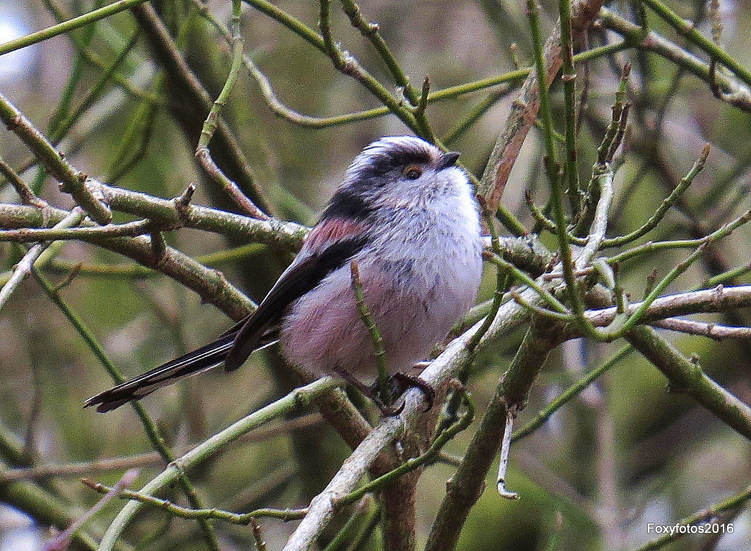 Longtailed tit by David.s.fox.9