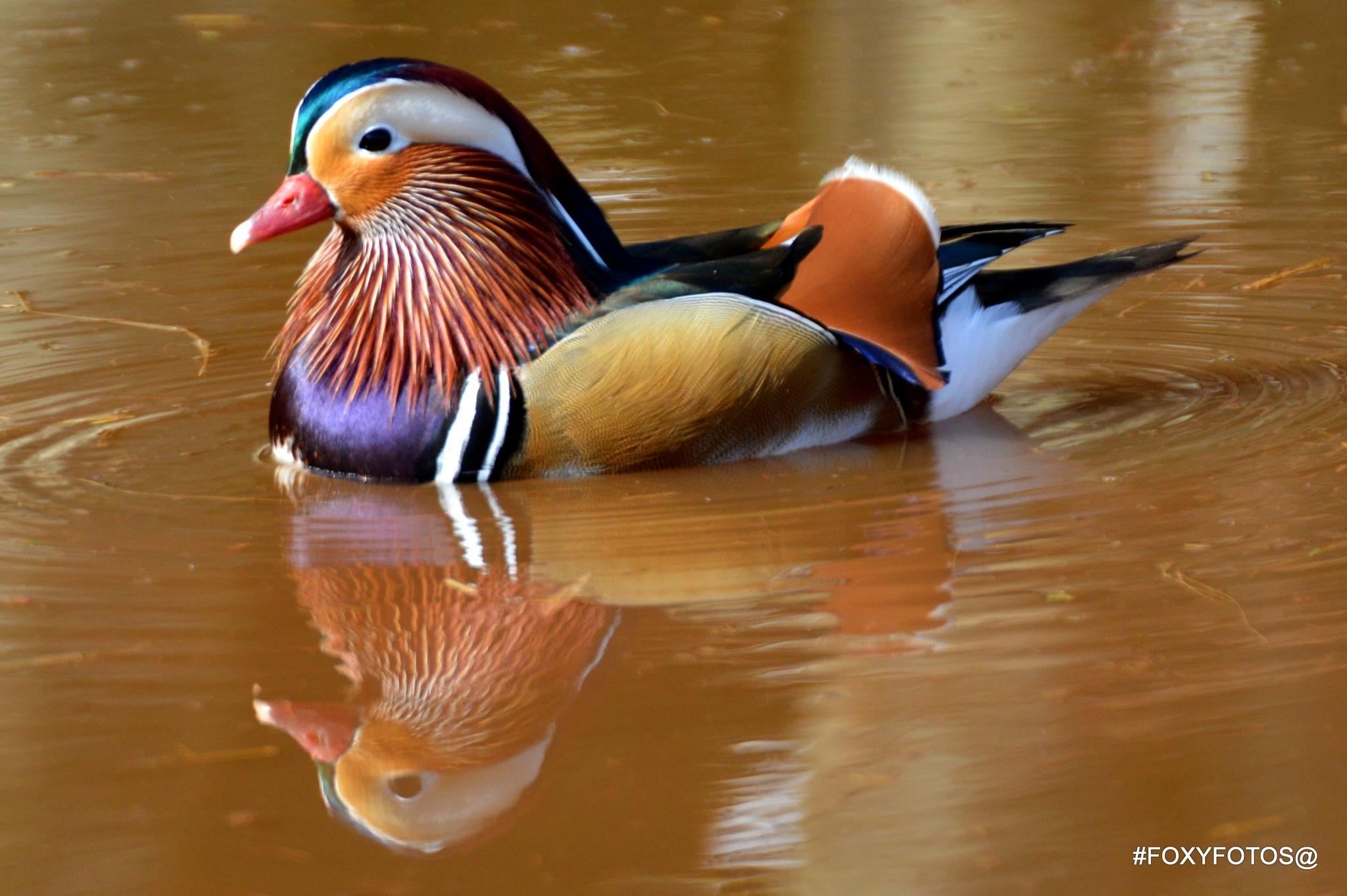 Mandarin Duck by David.s.fox.9