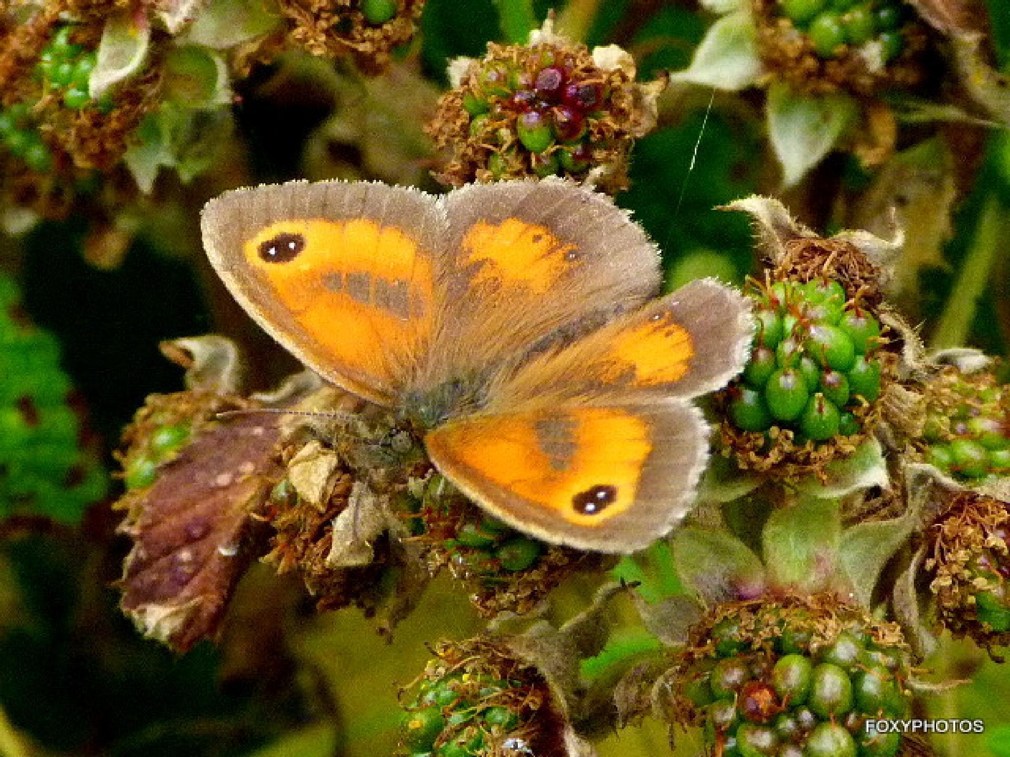 Gate keeper butterfly by David.s.fox.9
