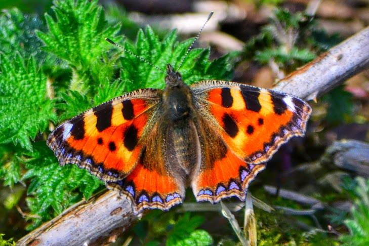 Tortoiseshell Butterfly  by David.s.fox.9
