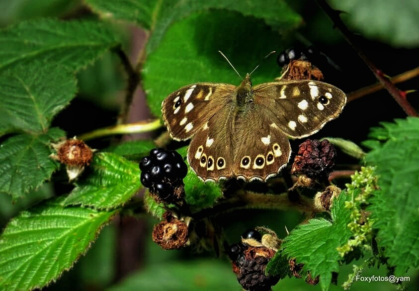 Speckled wood butterfly in Autumn by David.s.fox.9