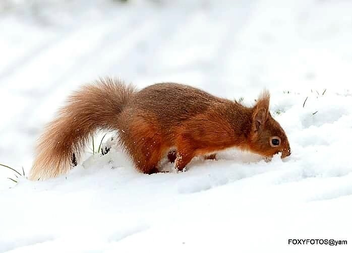 Snowy Squirrel by David.s.fox.9