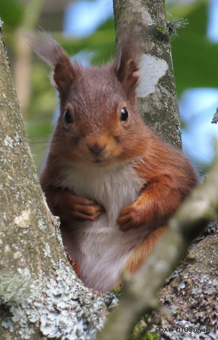 Red Squirrel  by David.s.fox.9