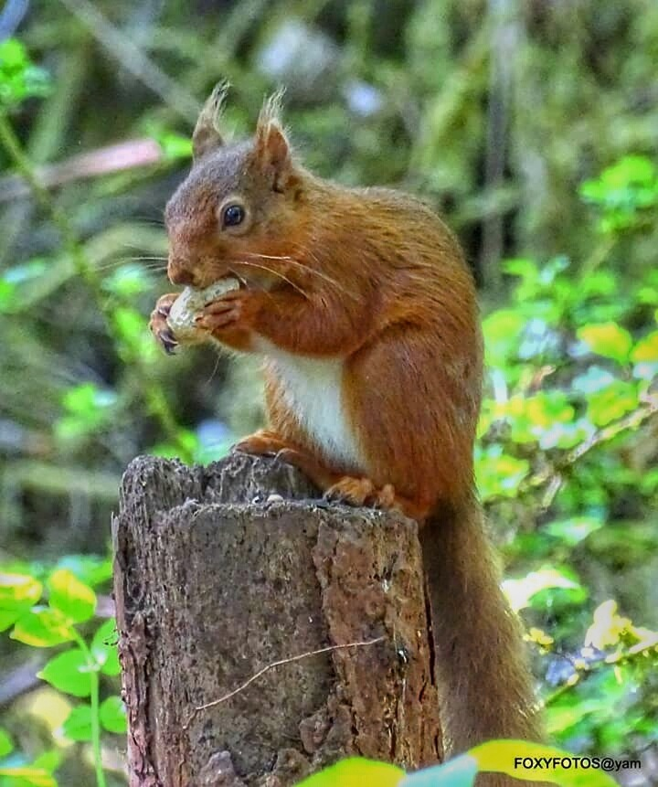 Red Squirrel on her post by David.s.fox.9
