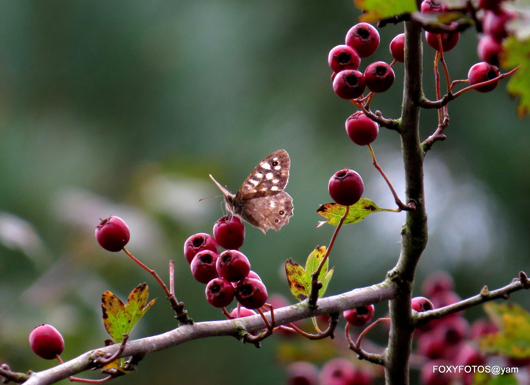 Butterfly autumn  by David.s.fox.9
