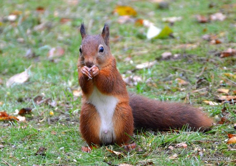 Squirrel having a nut by David.s.fox.9