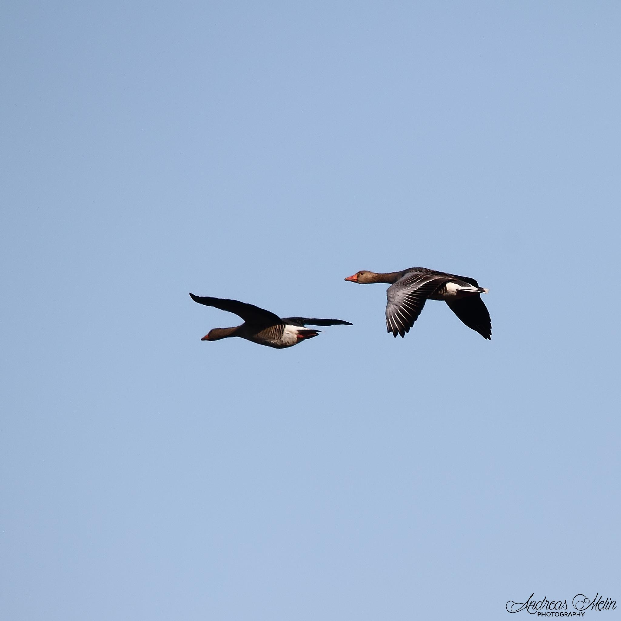 Greylags in flight. by andreas.melin