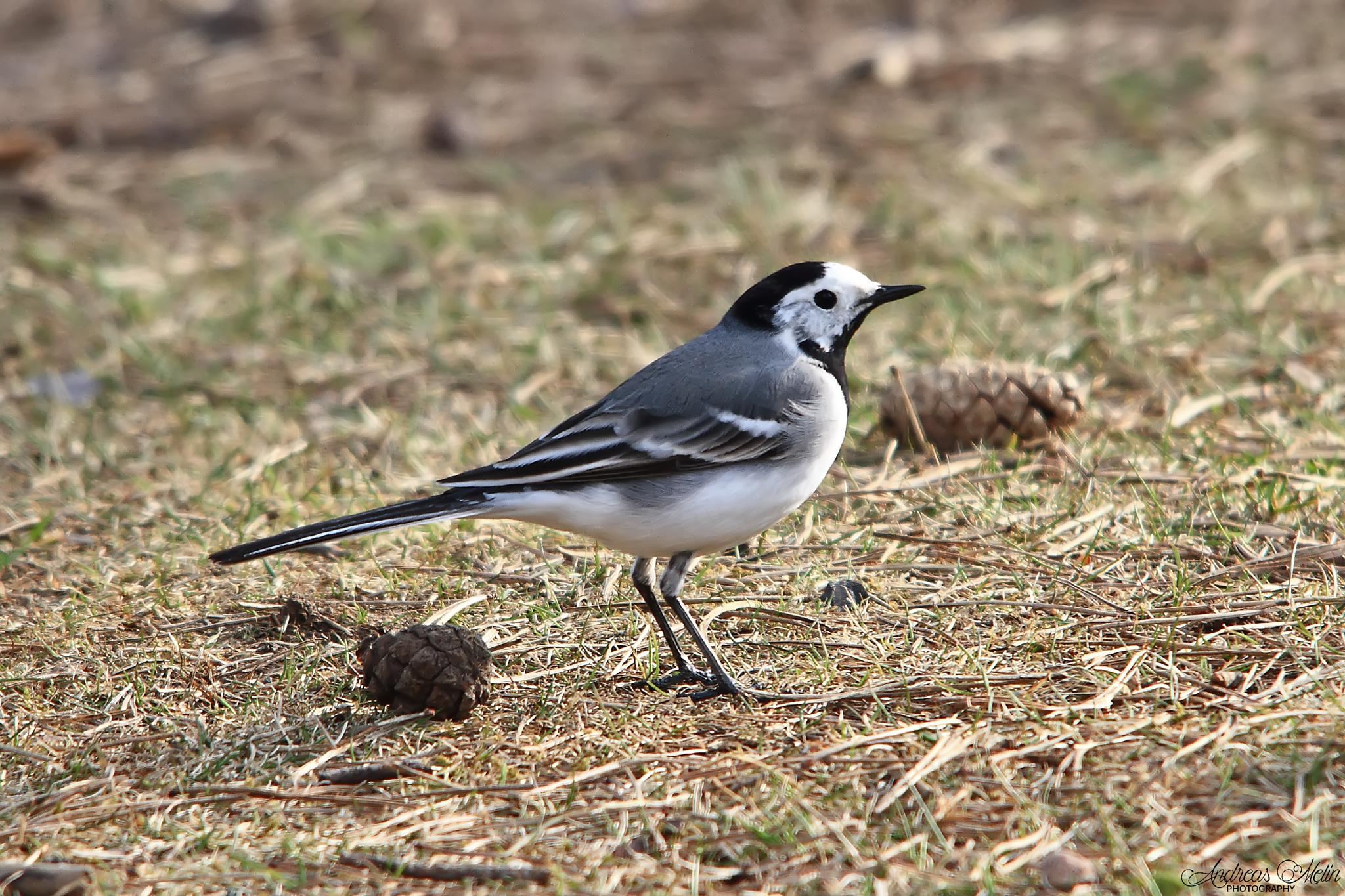 Wagtail by andreas.melin