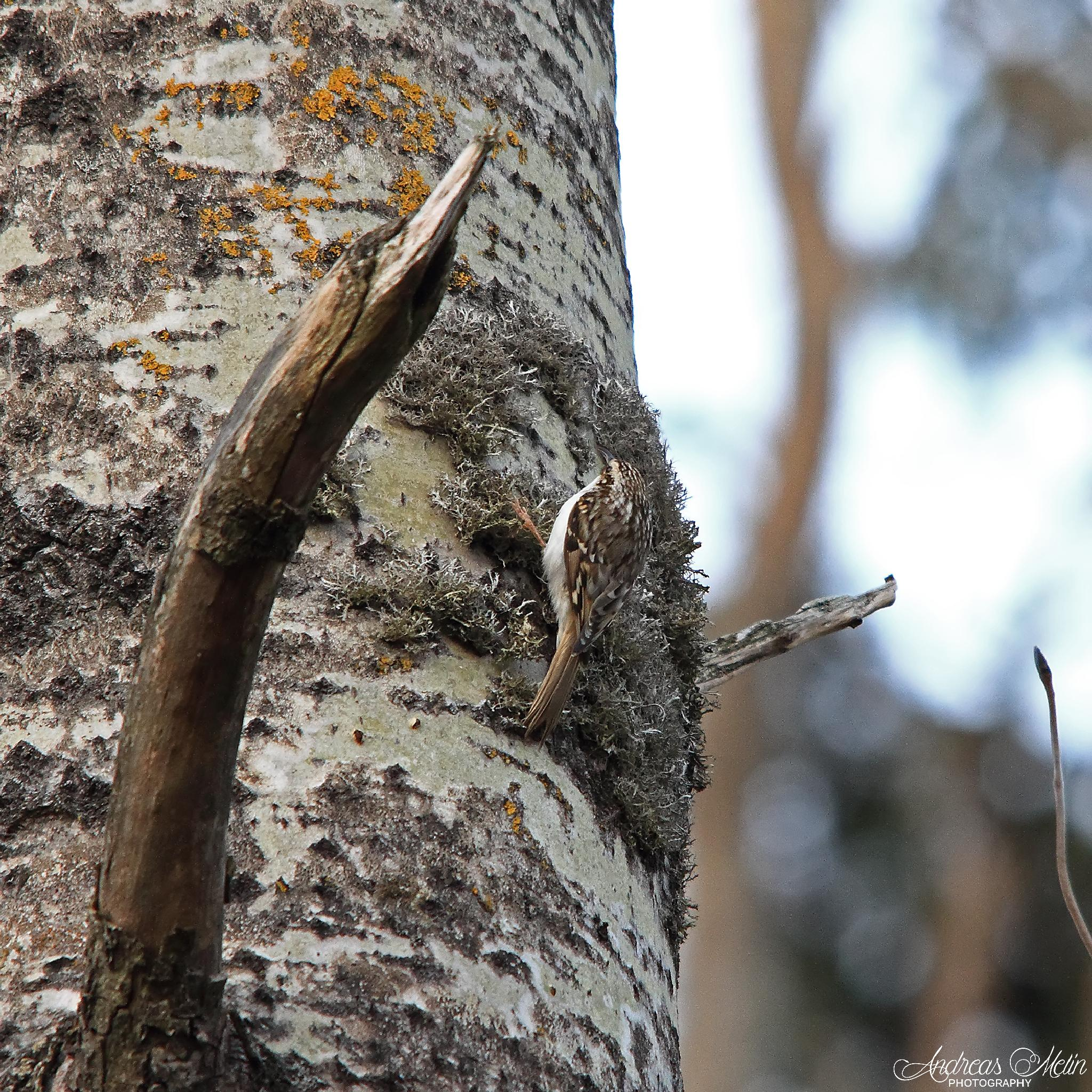 Tree Creeper by andreas.melin