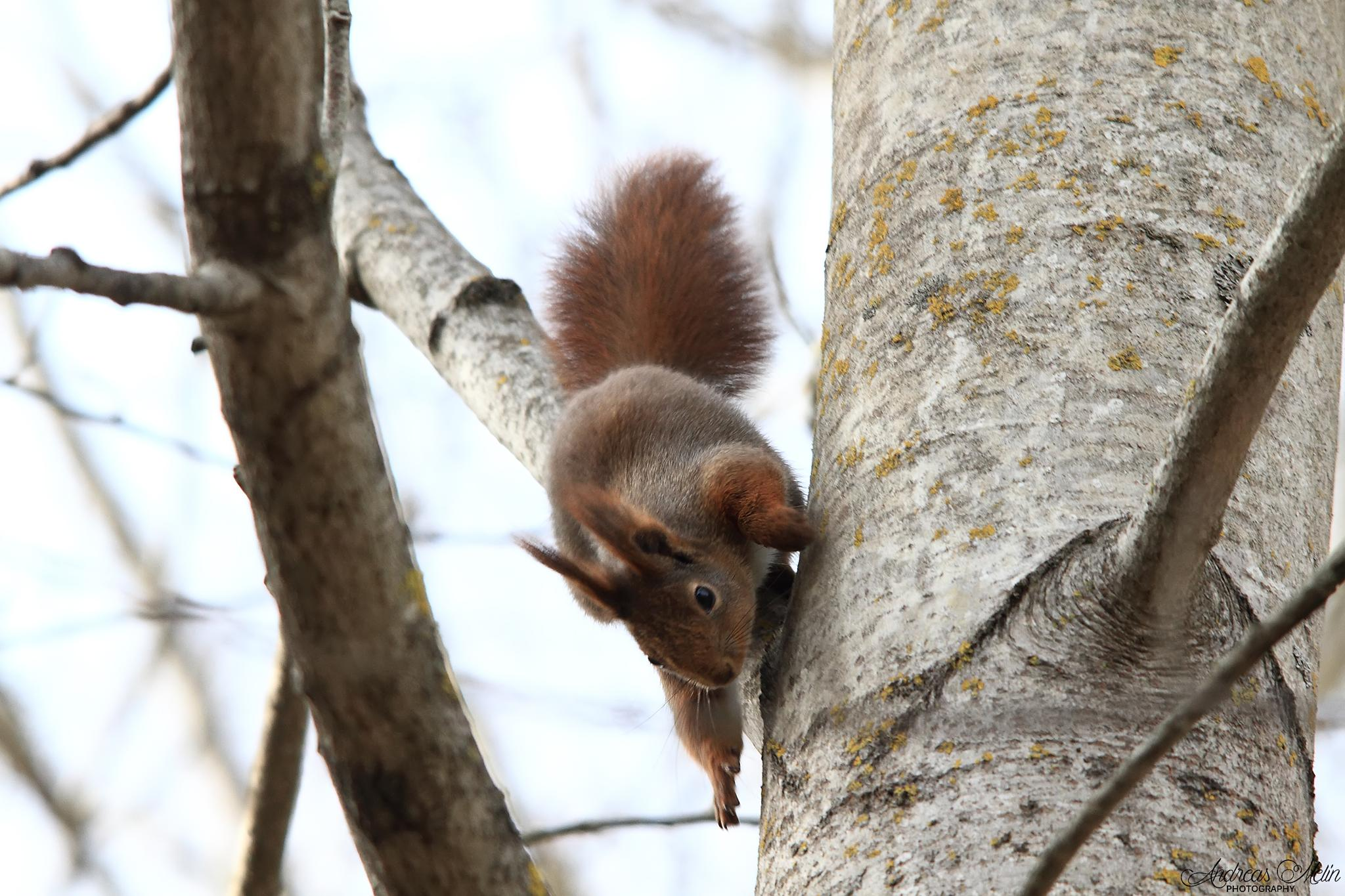Red Squirrel by andreas.melin