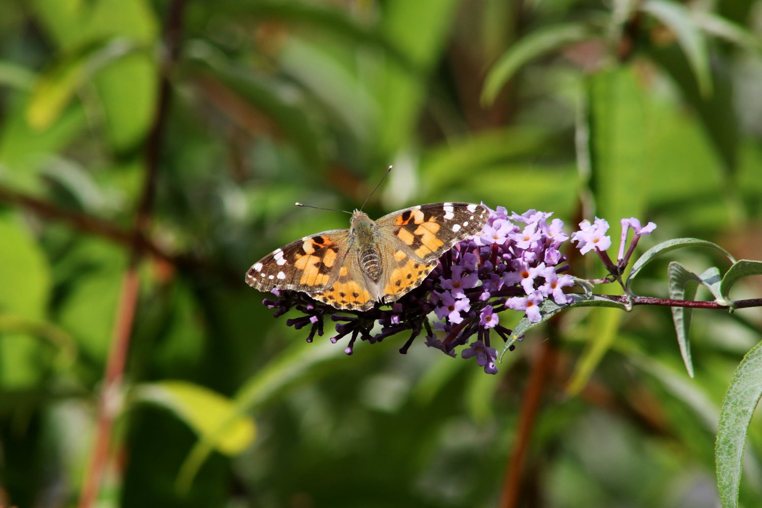 Painted Lady 2 by geoff.hall.12