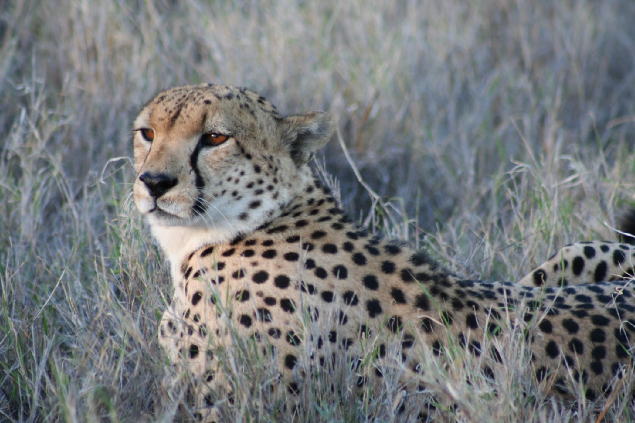 Cheetah by geoff.hall.12
