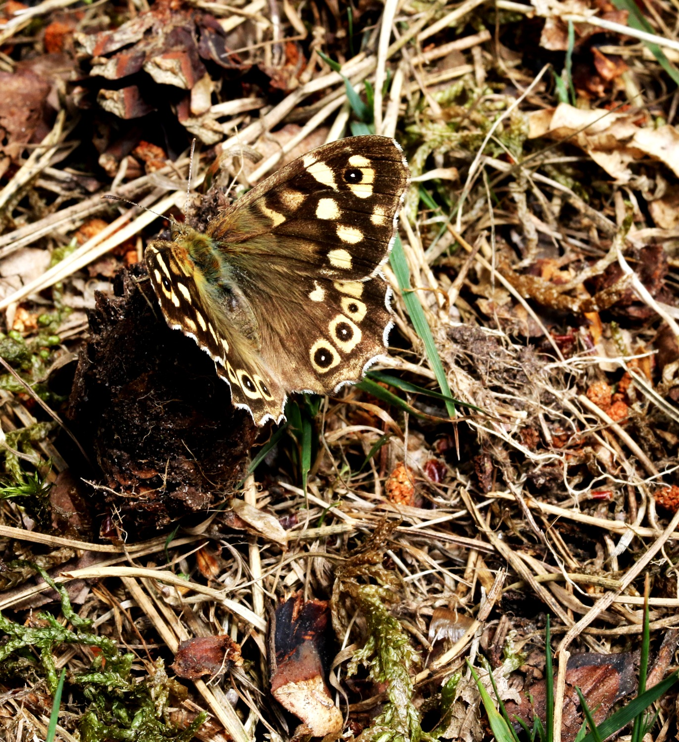 Speckled Wood by geoff.hall.12