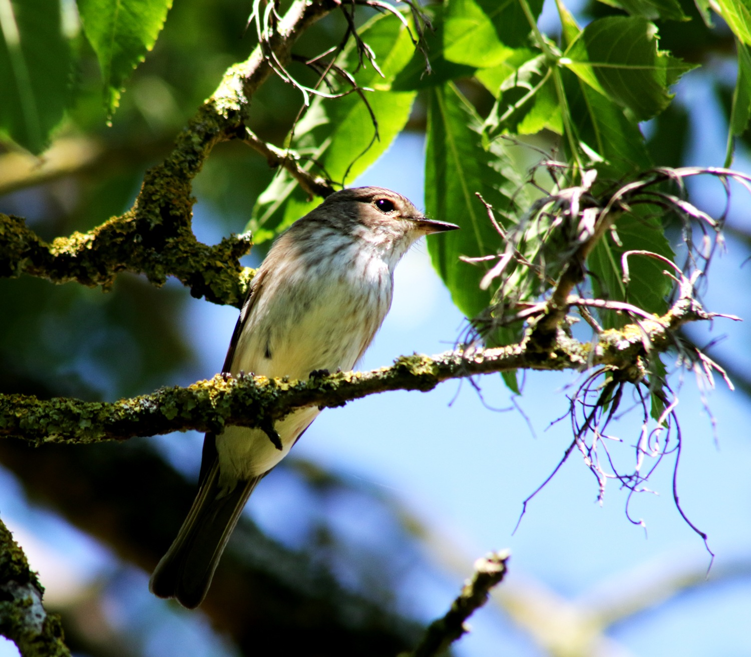 Spotted Flycatcher by geoff.hall.12