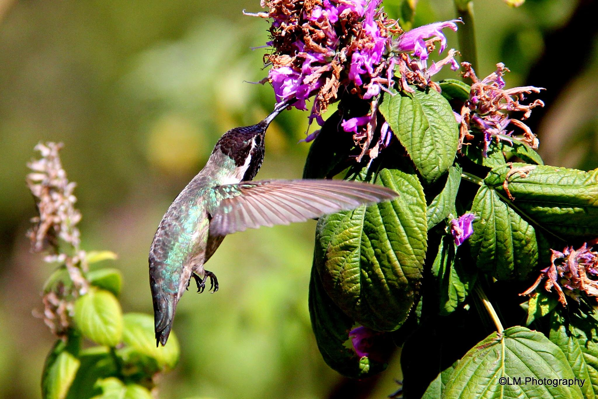 Costa's Hummingbird by LM Photography