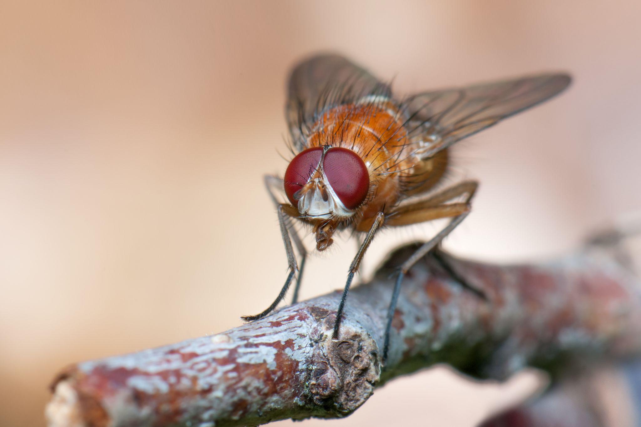 Red Fly by Wolfgang Korazija