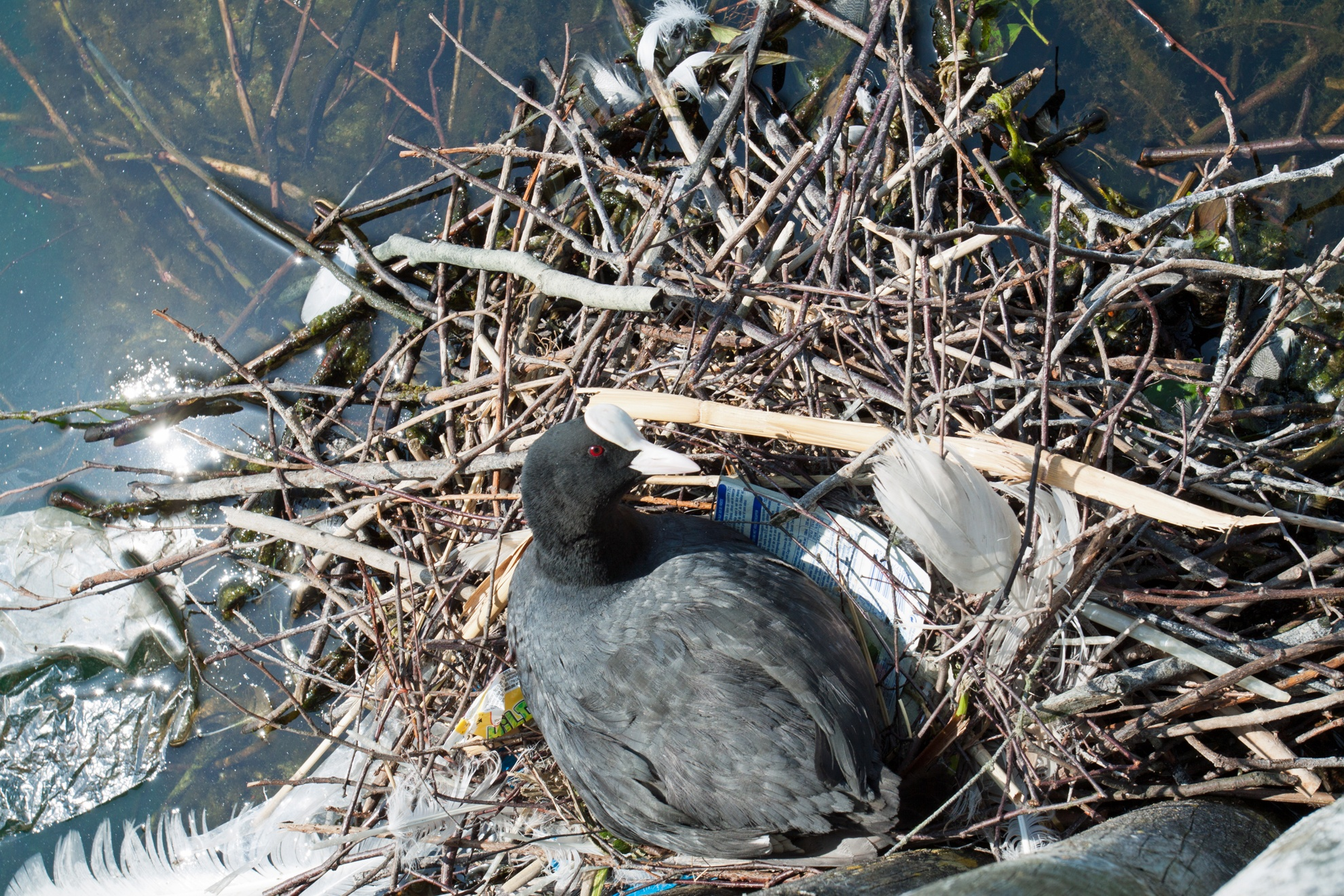 Nesting Coot  by Craig Williams Photography