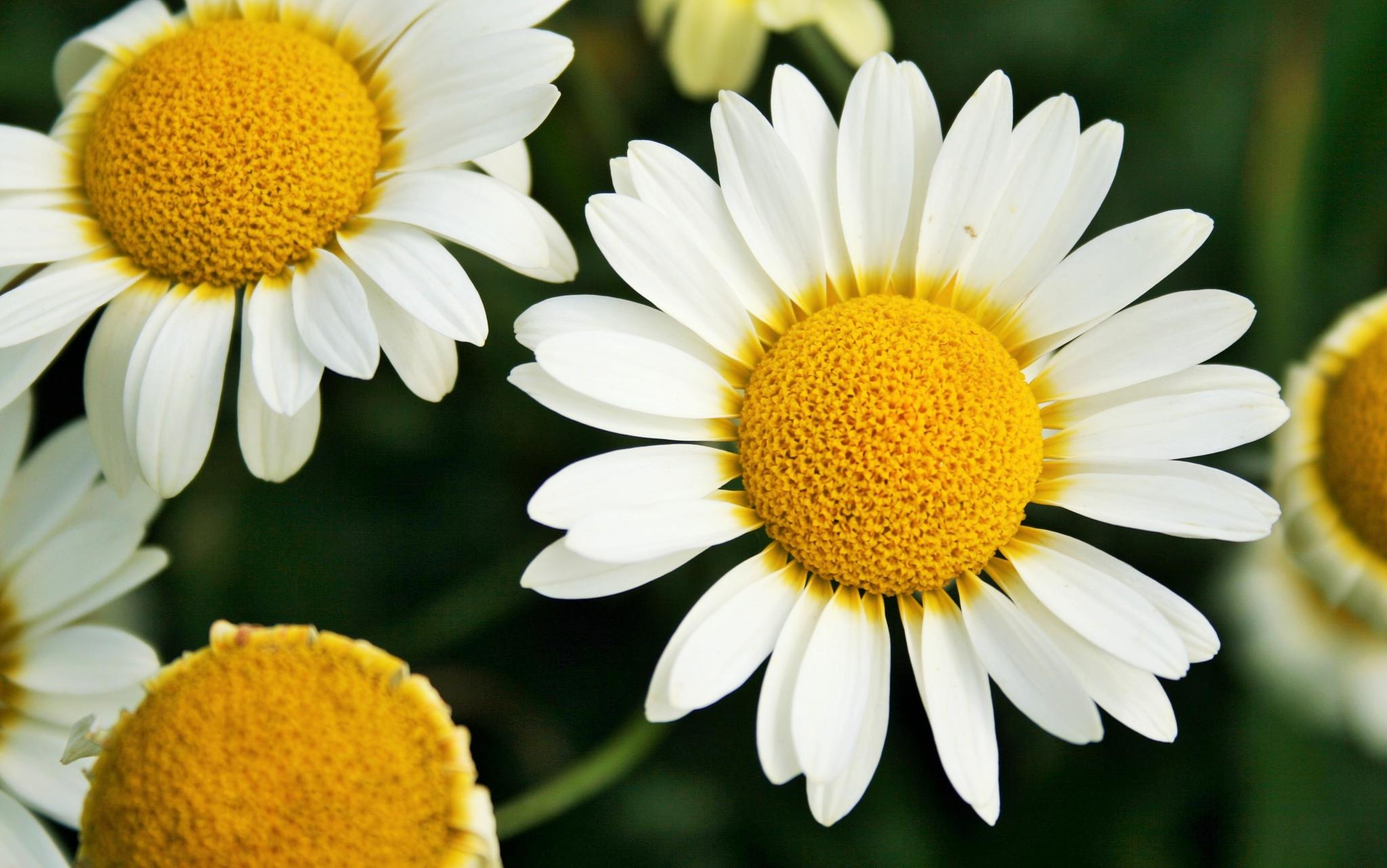 Daisy by Geoffrey Ackers