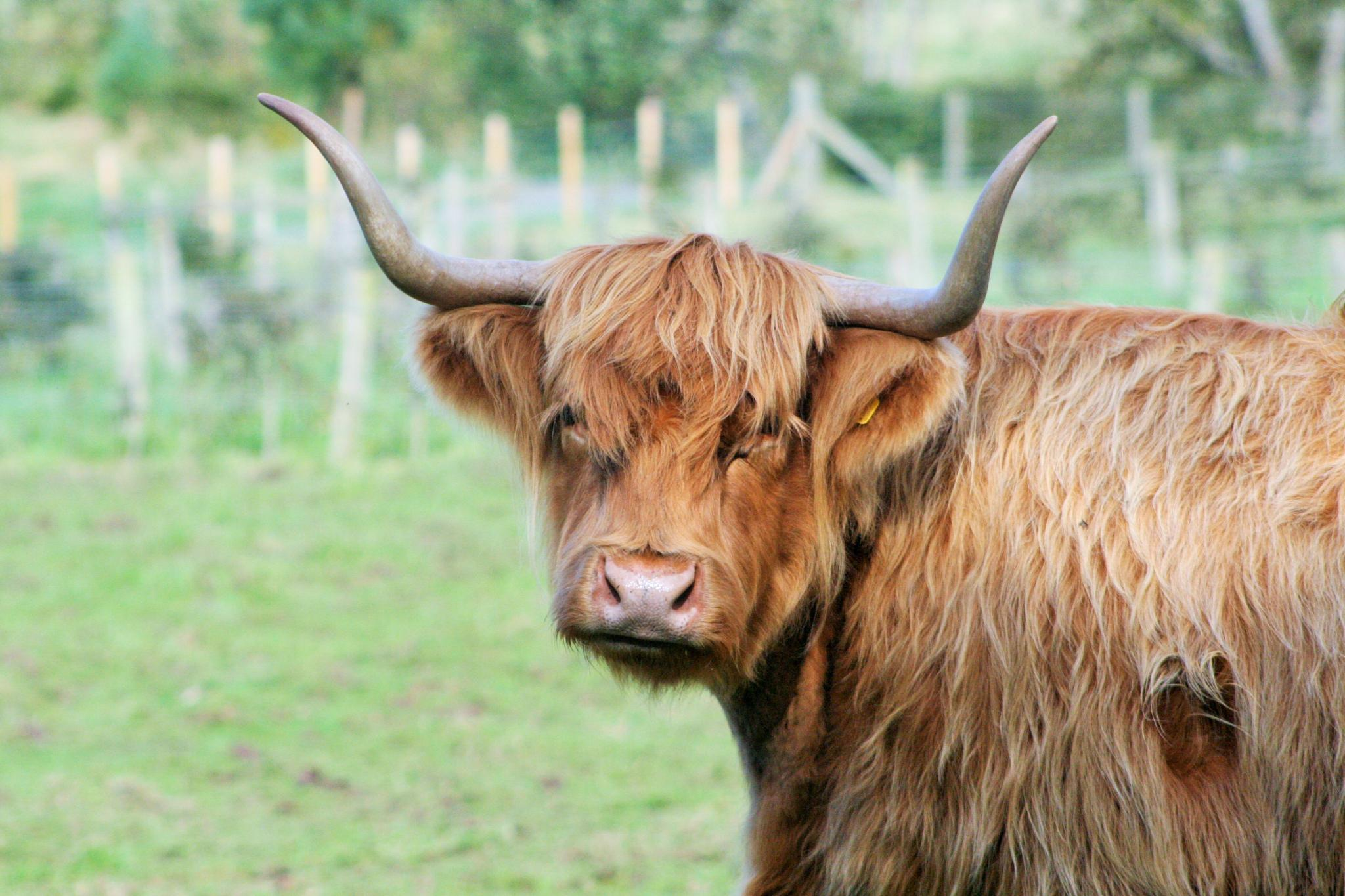 Highland Cow by Geoffrey Ackers