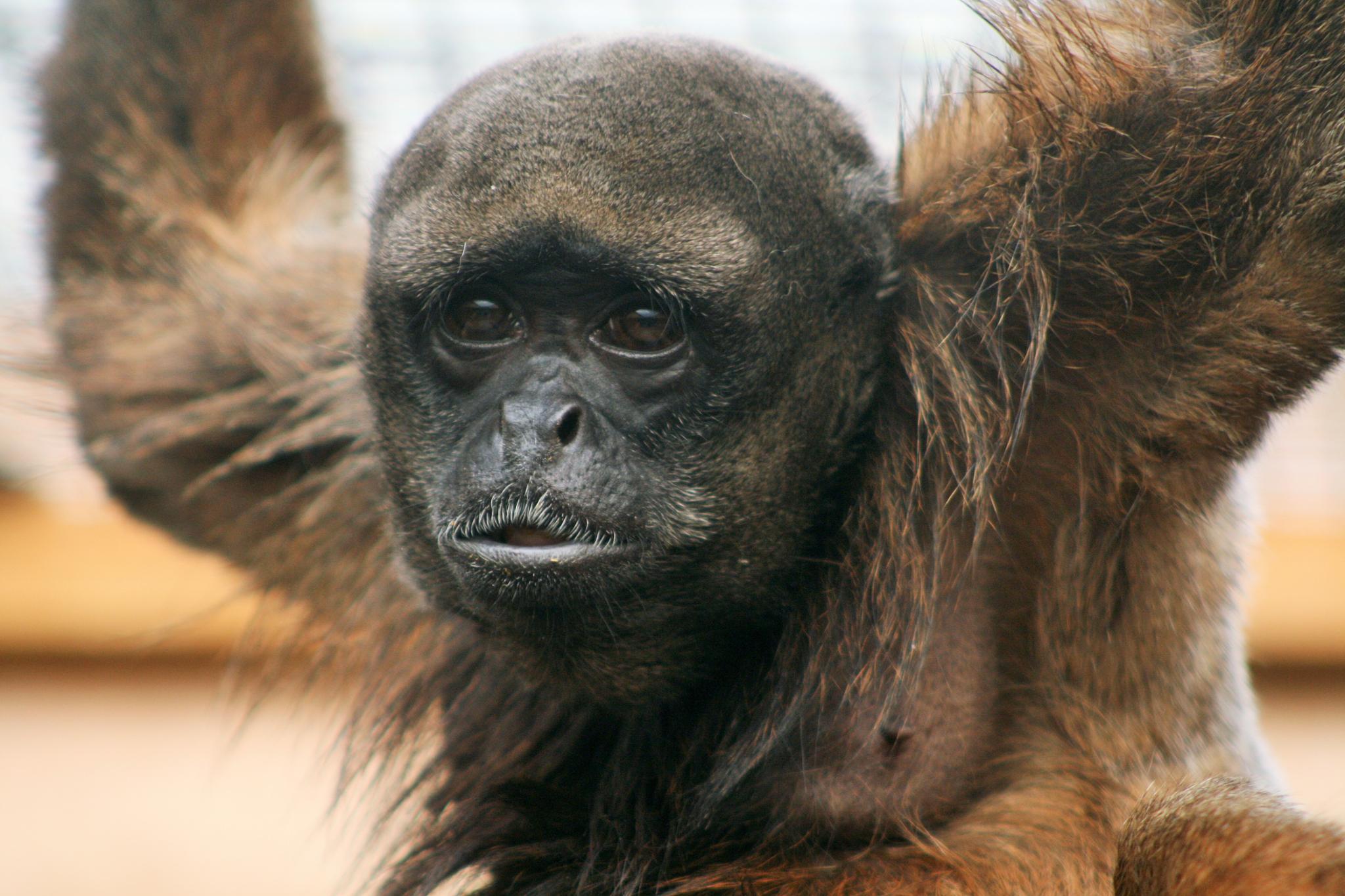 Monkey by Geoffrey Ackers